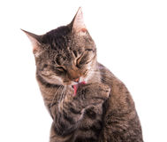 Tabby cat grooming herself Royalty Free Stock Photography