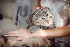 Tabby cat in the hands of the bride`s wedding day. Striped adult cat is sitting on the lap of a young girl Royalty Free Stock Images