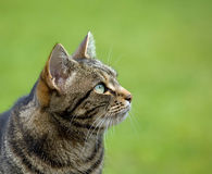Tabby Cat head profile Royalty Free Stock Photos