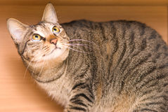 Tabby cat hide in the wooden box Stock Photos