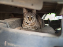 Tabby Cat Hiding From The Enemy. Under The Pickup Stock Photos