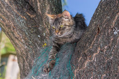 Tabby cat hiding in secluded nook on a tree branch in summer garden Royalty Free Stock Photos