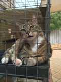 Diabetic Tabby Cat in his Outdoor Enclosure. Tabby Cat Cassidy is enjoying his outdoor enclosure. It gives him fresh air and keeps birds safe Stock Images