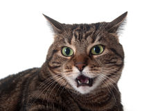 Tabby cat hissing Stock Photo