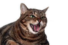 Tabby cat hissing Royalty Free Stock Photo