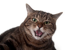 Tabby Cat Hissing Stock Image