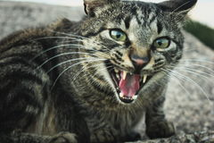 Tabby cat hissing Stock Image