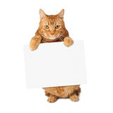 Tabby Cat Holding Blank Sign. A cute orange striped tabby cat standing up and holding a blank sign royalty free stock photography