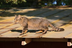 Tabby Cat on a Hot Tin Roof. A silver tabby cat walking across a hot tin roof of a barn in summer stock image
