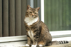 Tabby cat at house door. Female tabby cat sitting in front of house window door royalty free stock photos