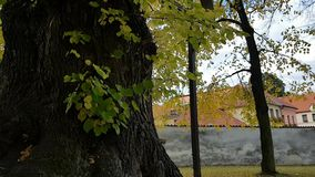 Tabby cat in huge linden tree. Tabby cat - curious little kitty going into hole in huge linden tree stock video footage