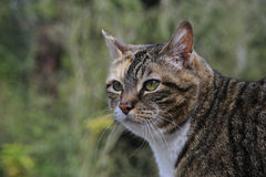 Tabby Cat Hunting. Tabby Cat in park hunting birds Royalty Free Stock Images