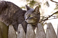 Tabby cat. Hunting tabby cat on the fence stock photos
