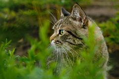 Tabby cat hunting in the grass. A striped green-eyed cat hunts in the grass stock images