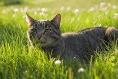 Tabby Cat hunting Stock Photo