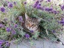 Tabby Cat i blommor Arkivbilder