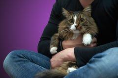 Tabby Cat i händerna av ägaren Arkivbilder