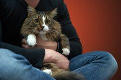 Tabby Cat i händerna av ägaren Arkivfoto