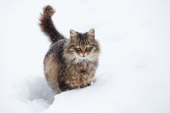 Tabby Cat In Snow Royalty Free Stock Image