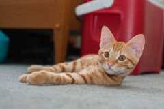 Tabby cat instinctively looks camera left Royalty Free Stock Images