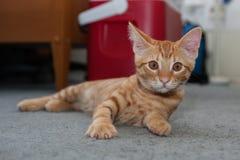 Tabby cat instinctively looks up Stock Photos