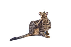 Tabby Cat. Isolated on white, scratches itself stock image