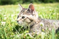 Tabby Cat joven en hierba Fotografía de archivo