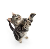 Tabby cat jumping. Cute tabby kitty jumping in the air isolated on white background Stock Photography