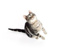 Tabby cat jumping. Cute tabby kitty jumping in the air isolated on white background Royalty Free Stock Images