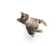 Tabby cat jumping. Cute tabby kitty jumping in the air isolated on white background Royalty Free Stock Photos