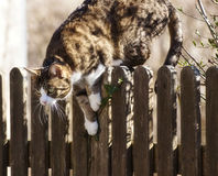 Tabby cat jumping down a fence. Tabby cat ready to jump over a wooden fence outside, attentive looking Stock Image