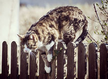 Tabby cat jumping down a fence. Tabby cat ready to jump over a wooden fence outside, looking at its prey Stock Images