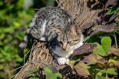 Tabby cat kitten balanced on garden fencing in summer stock photography