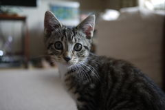 Tabby cat kitten with big eyes and whiskers in a UK home Royalty Free Stock Photos