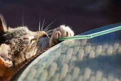 Tabby cat kitten playing and stretching to reach a straw with claws exposed royalty free stock photo