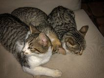 Tabby cat kitten siblings trying to sleep royalty free stock photos