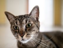 Tabby cat with large pupils. A tabby cat looking just off camera, with a thin face, pointy nose and long think whiskers royalty free stock image
