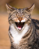 Tabby Cat Laughing. Tabby cat appearing to laugh whilst yawning, mouth open, tufty ears back royalty free stock image