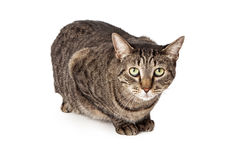 Tabby cat laying Stock Image