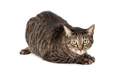 Tabby cat laying down Stock Photos