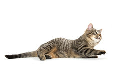 Tabby cat laying down Royalty Free Stock Images