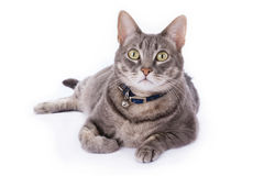 Tabby cat laying down and looking at camera Stock Photography