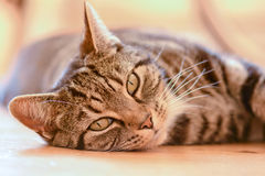 Tabby cat laying on floor. Tabby cat portrait laying on floor in dining room Stock Images
