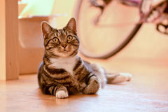 Tabby cat laying on floor. Tabby cat portrait laying on floor in dining room Stock Photos