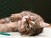 Tabby Cat laying on side Royalty Free Stock Images