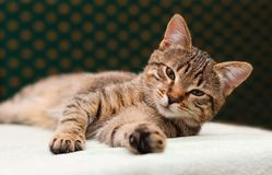 Tabby Cat laying on side Royalty Free Stock Photos