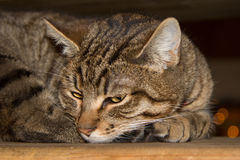 Tabby Cat laying on side. Looking into camera Royalty Free Stock Photography