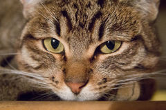 Tabby Cat laying on side. Looking into camera Stock Photos