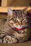 Tabby Cat laying on side. Looking into camera Royalty Free Stock Photos