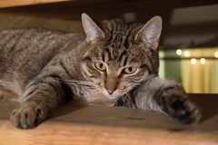 Tabby Cat laying on side. Looking into camera Stock Image